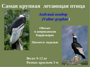 Самая крупная летающая птица Андский кондор (Vultur gryphus) Обитает в амери
