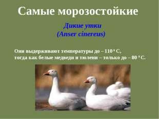 Самые морозостойкие Дикие утки (Anser cinereus) Они выдерживают температуры д