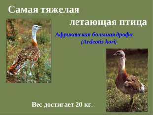 Самая тяжелая летающая птица Вес достигает 20 кг. Африканская большая дрофа (