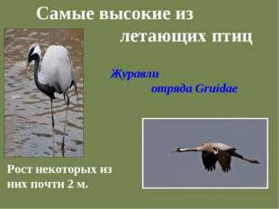 Самые высокие из летающих птиц Рост некоторых из них почти 2 м. Журавли отряд