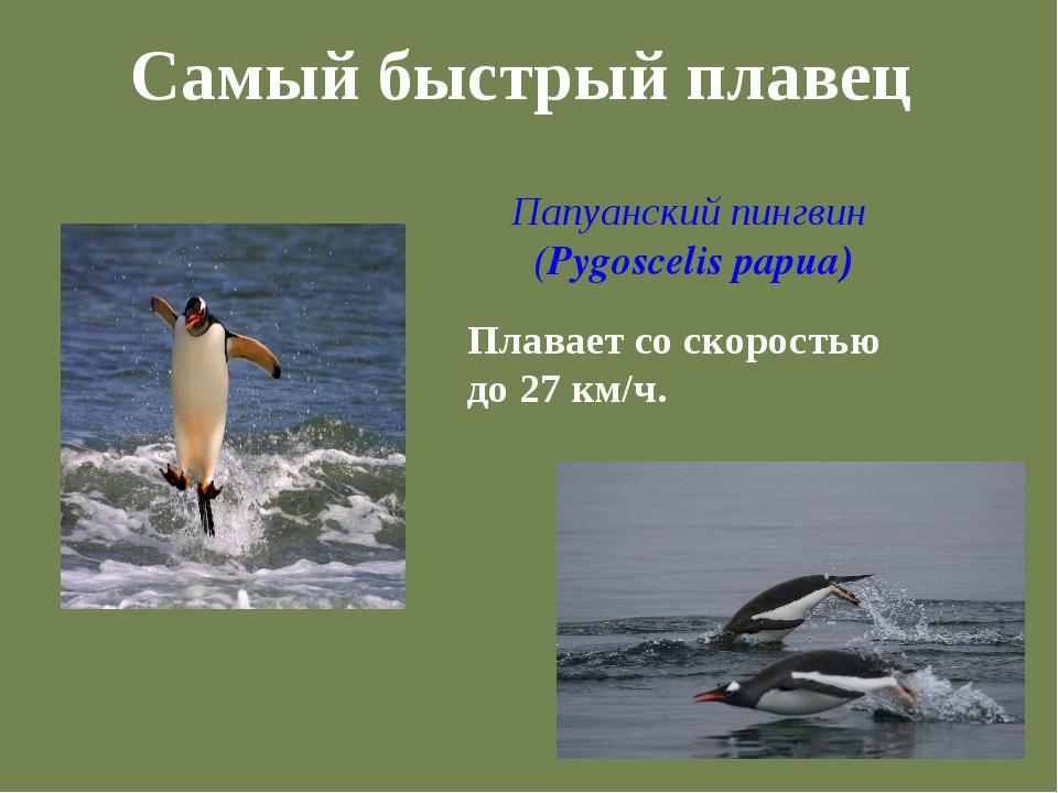 Самый быстрый плавец Папуанский пингвин (Pygoscelis papua) Плавает со скорост...