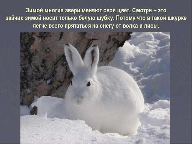 Зимой многие звери меняют свой цвет. Смотри – это зайчик зимой носит только б...