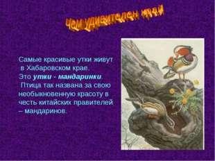 Самые красивые утки живут в Хабаровском крае. Это утки - мандаринки. Птица та