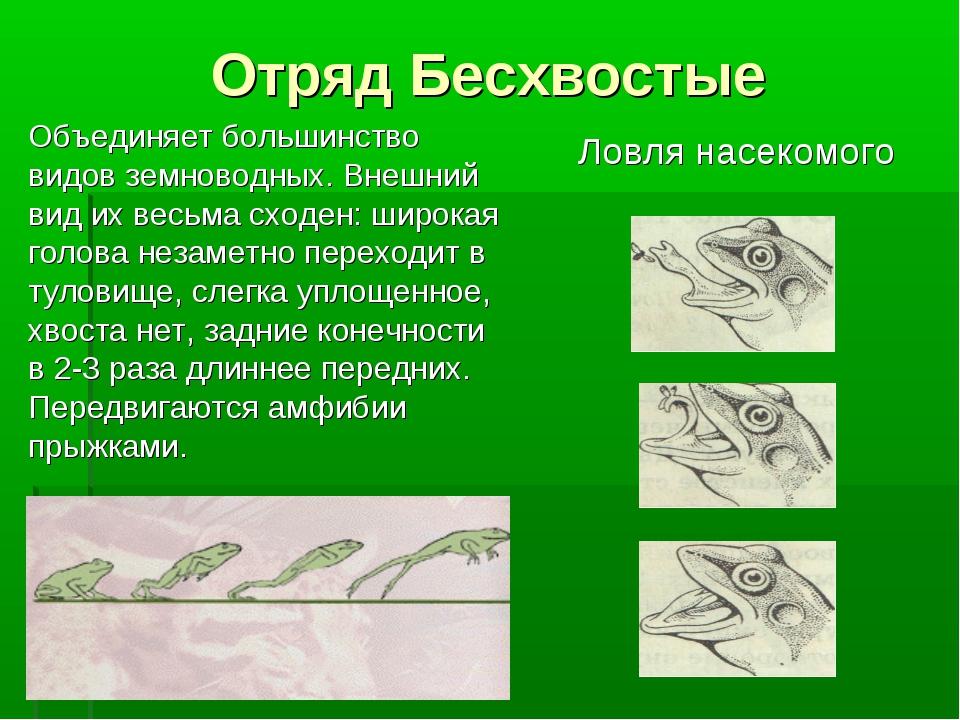 Отряд Бесхвостые Объединяет большинство видов земноводных. Внешний вид их вес...