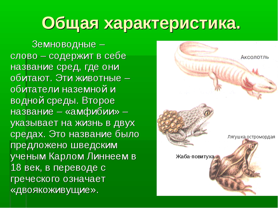 Общая характеристика. Лягушка остромордая Жабаповитуха Земноводные – слово –...