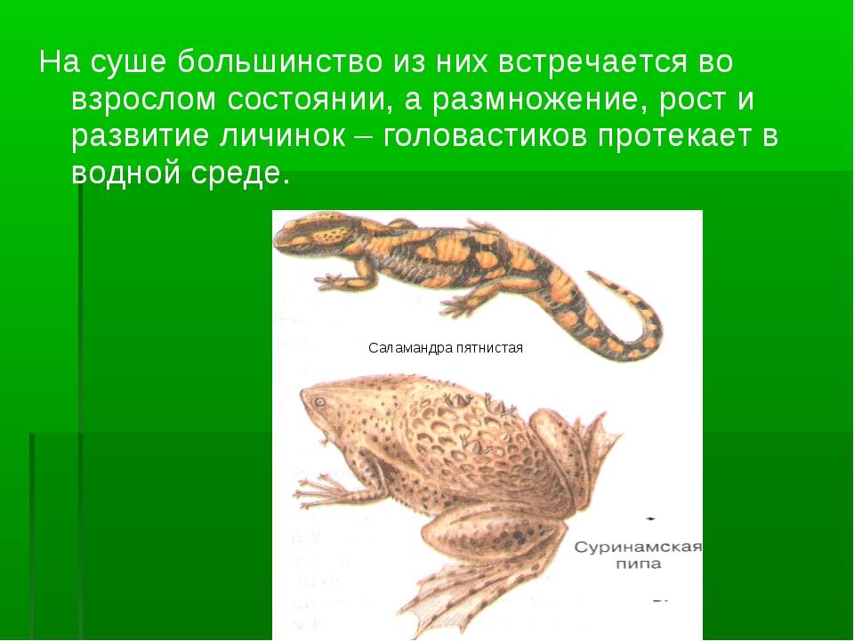 Саламандра пятнистая На суше большинство из них встречается во взрослом состо...