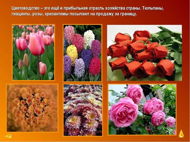 Цветоводство – это ещё и прибыльная отрасль хозяйства страны. Тюльпаны, гиаци...