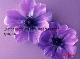 цветок растения закрывается перед дождем назад таблица