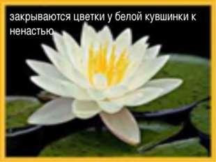 закрываются цветки у белой кувшинки к ненастью