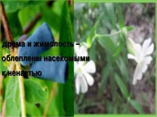 дрема и жимолость – облеплены насекомыми к ненастью