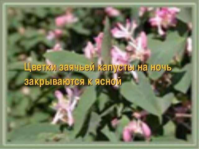 Цветки заячьей капусты на ночь закрываются к ясной