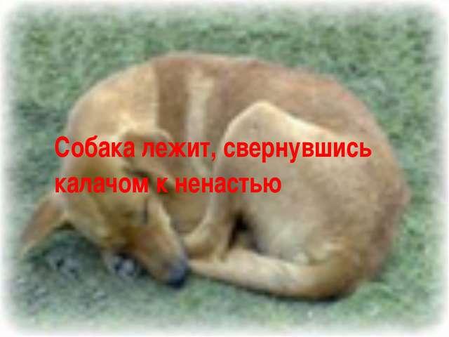 Собака лежит, свернувшись калачом к ненастью