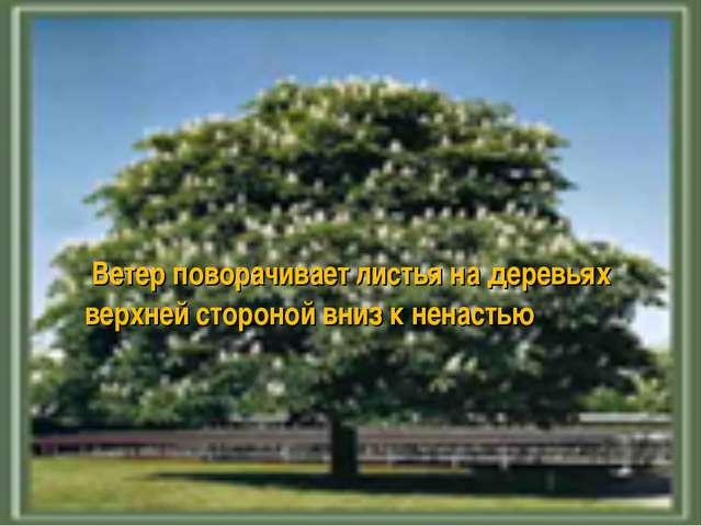 Ветер поворачивает листья на деревьях верхней стороной вниз к ненастью