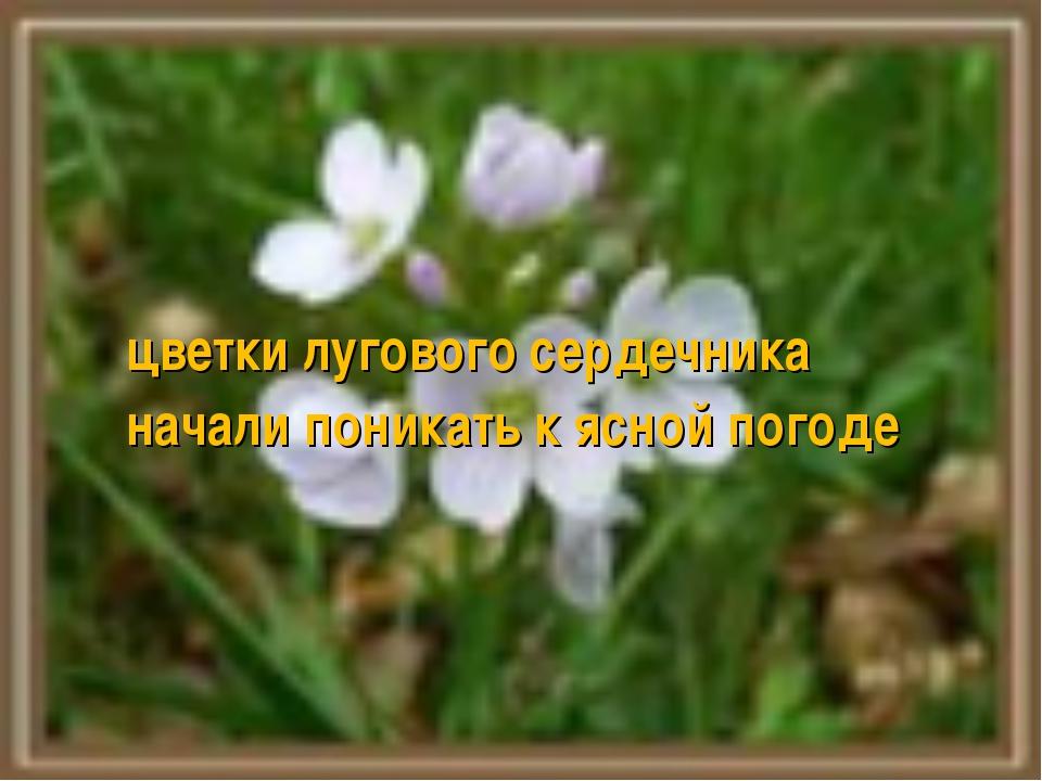 цветки лугового сердечника начали поникать к ясной погоде