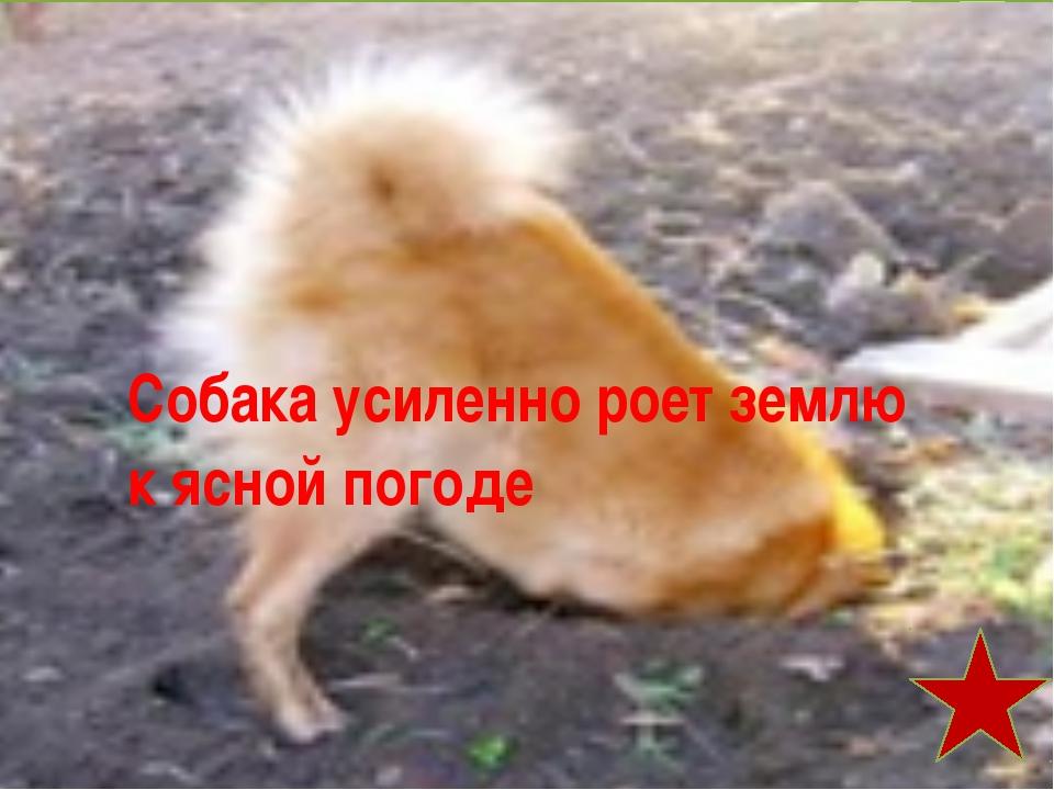 Собака усиленно роет землю к ясной погоде