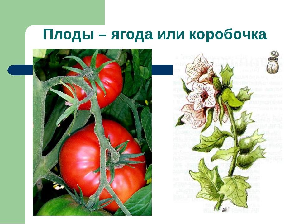 Плоды – ягода или коробочка