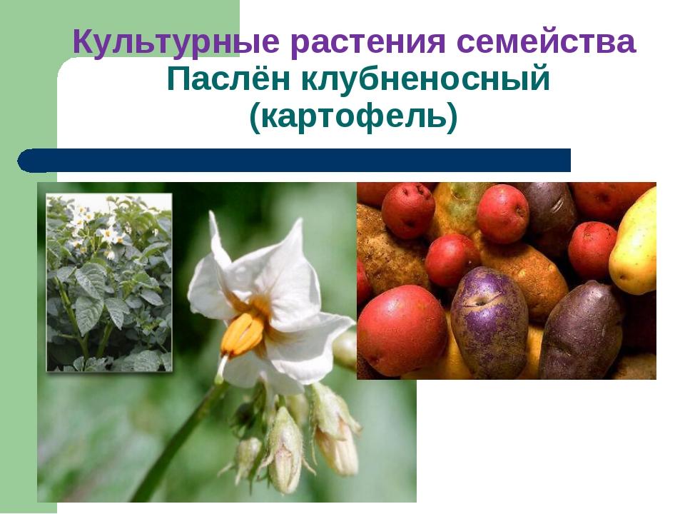 Культурные растения семейства Паслён клубненосный (картофель)