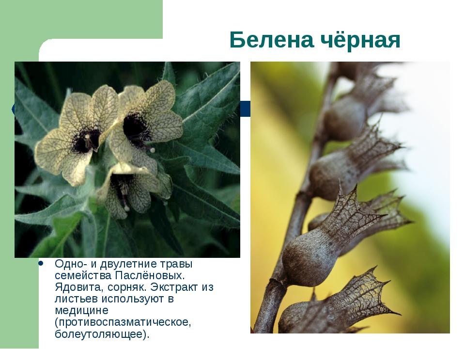 Белена чёрная Одно- и двулетние травы семейства Паслёновых. Ядовита, сорняк....