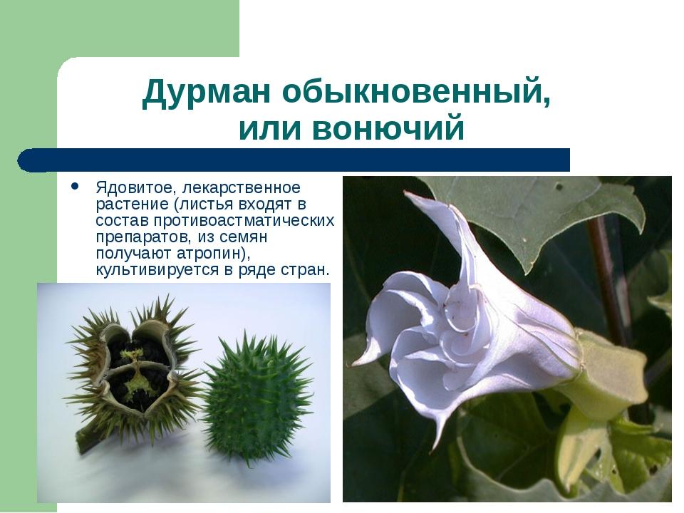 Дурман обыкновенный, или вонючий Ядовитое, лекарственное растение (листья вх...