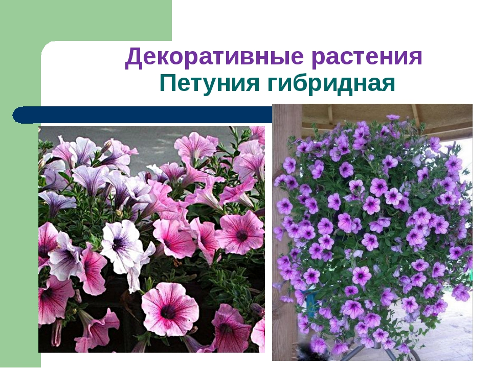 Декоративные растения Петуния гибридная