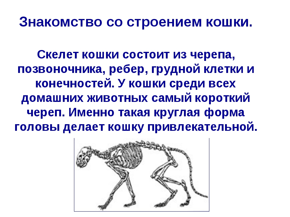Знакомство со строением кошки. Скелет кошки состоит из черепа, позвоночника,...