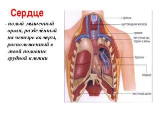 Сердце - полый мышечный орган, разделённый на четыре камеры, расположенный в