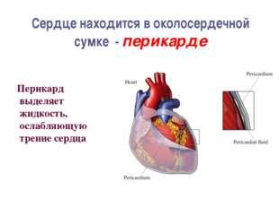 Сердце находится в околосердечной сумке - перикарде Перикард выделяет жидкост