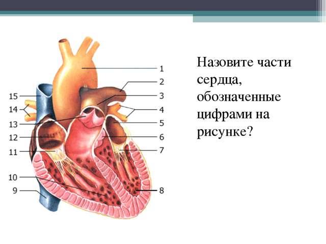 Назовите части сердца, обозначенные цифрами на рисунке?