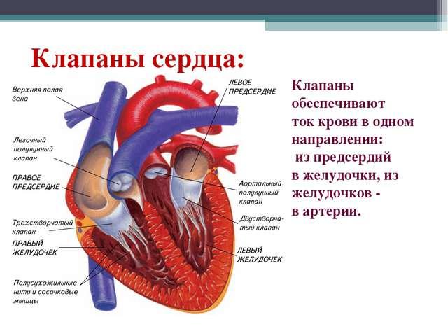 Клапаны обеспечивают ток крови в одном направлении: из предсердий в желудочки...