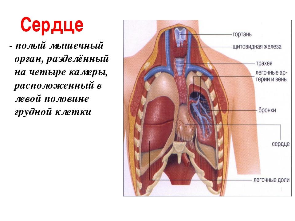 Сердце - полый мышечный орган, разделённый на четыре камеры, расположенный в...