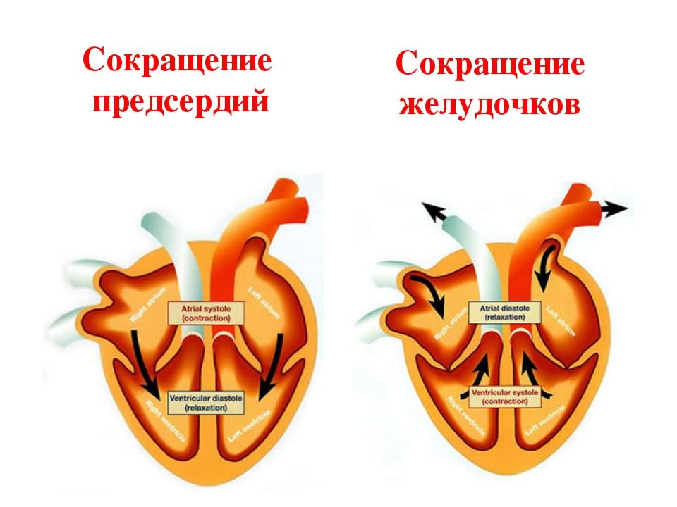 Сокращение предсердий Сокращение желудочков