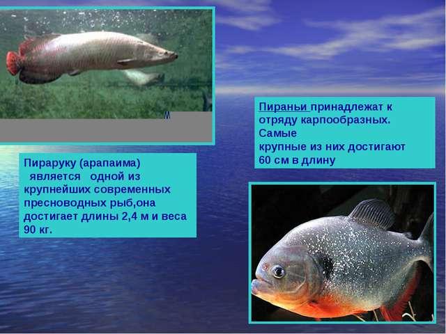 Пираруку (арапаима) является одной из крупнейших современных пресноводных ры...