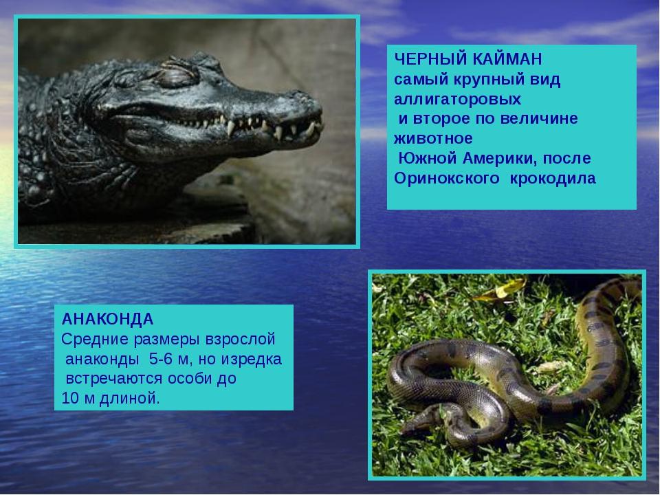 ЧЕРНЫЙ КАЙМАН самый крупный вид аллигаторовых и второе по величине животное...