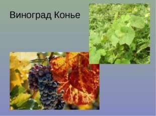 Виноград Конье
