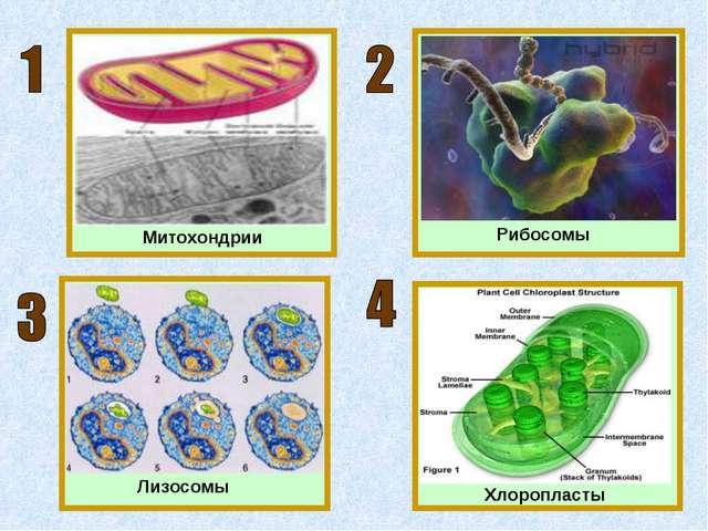 Митохондрии Рибосомы Хлоропласты Лизосомы