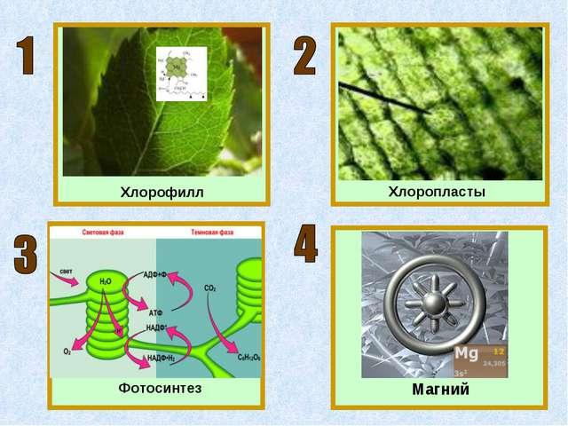 Хлорофилл Хлоропласты Магний Фотосинтез