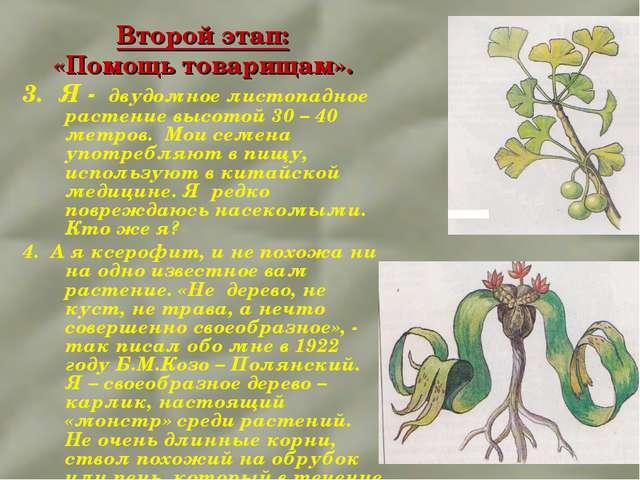 Второй этап: «Помощь товарищам». 3. Я - двудомное листопадное растение высото...