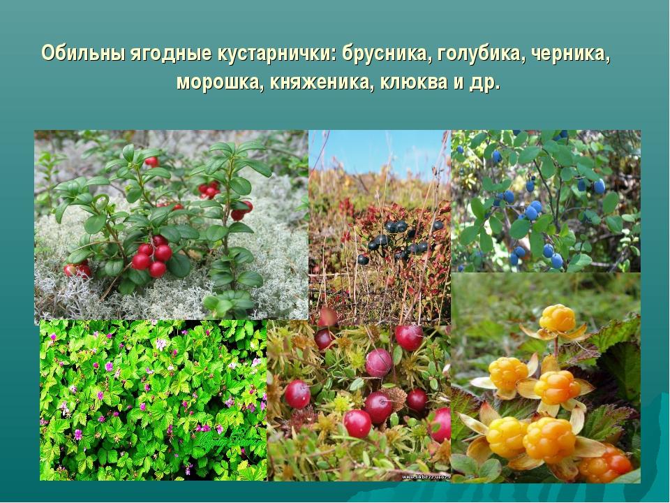Обильны ягодные кустарнички: брусника, голубика, черника, морошка, княженика,...