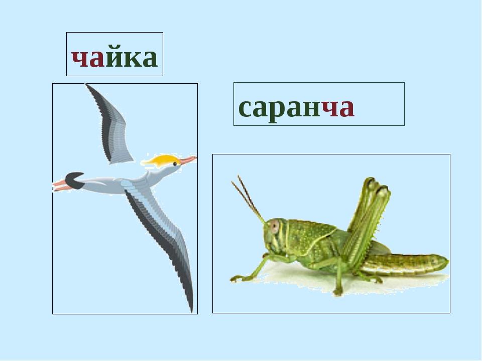 чайка саранча