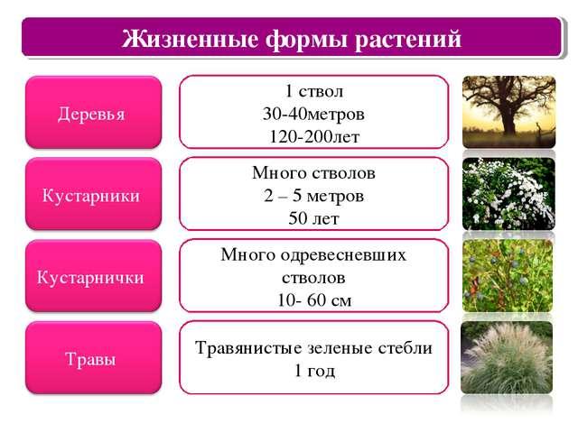 Царство растений Жизненные формы растений 1 ствол 30-40метров 120-200лет Мног...