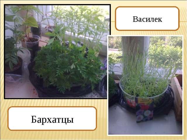 Бархатцы Василек