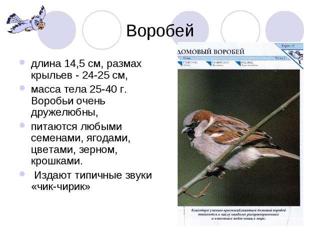 Воробей длина 14,5 см, размах крыльев - 24-25 см, масса тела 25-40 г. Воробьи...