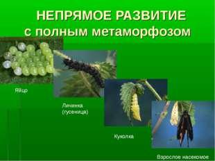 НЕПРЯМОЕ РАЗВИТИЕ с полным метаморфозом Яйцо Личинка (гусеница) Куколка Взро