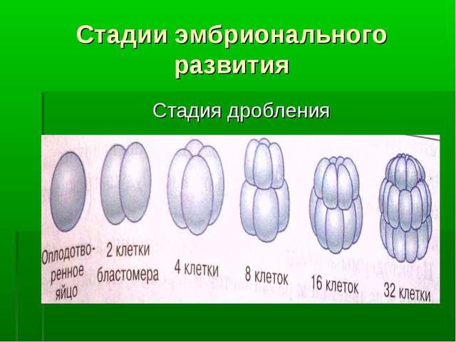Стадии эмбрионального развития Стадия дробления