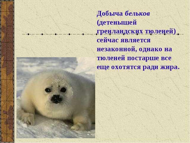 Добыча бельков (детенышей гренландских тюленей) сейчас является незаконной, о...