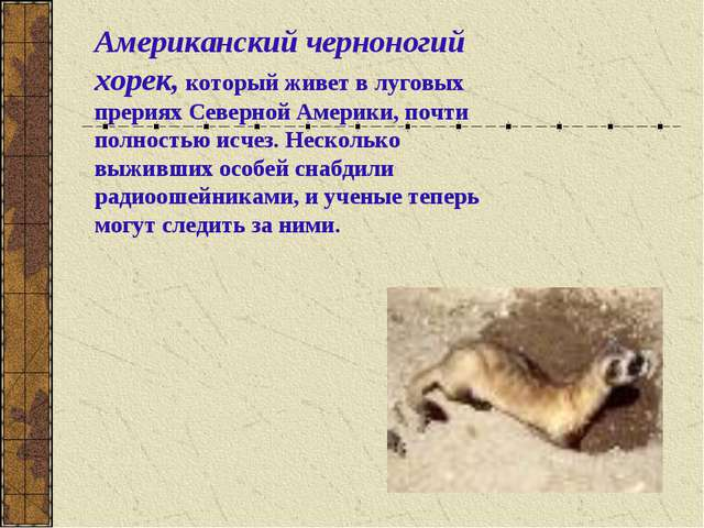 Американский черноногий хорек, который живет в луговых прериях Северной Амери...