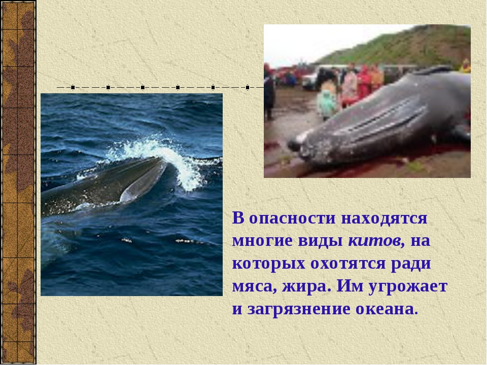 В опасности находятся многие виды китов, на которых охотятся ради мяса, жира....