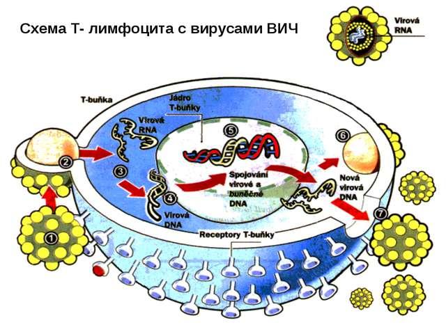 Схема Т- лимфоцита с вирусами ВИЧ