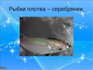 Рыбки плотва – серебрянки,