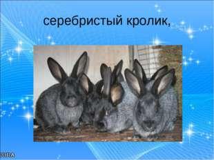 серебристый кролик,